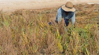 Masdar Institute achieves critical milestone in developing sustainable aviation biofuel