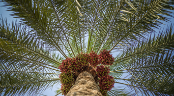 How Saudi Aramco discovered date-palm seeds could prevent lost circulation