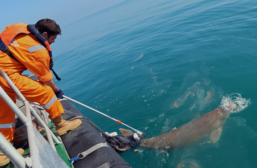 In a three-hours long operation, a team from the Abu Dhabi National Oil Company (ADNOC) and Seabed Geosolutions (SBGS), managed to free the Dugong from the fishing net and floats.