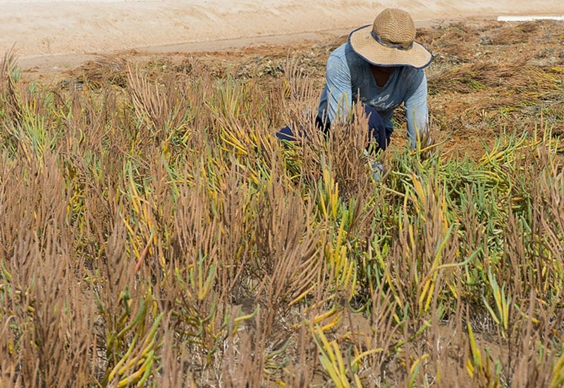The first batch of Salicornia grown at the SEAS facility in Masdar City is picked for harvesting.