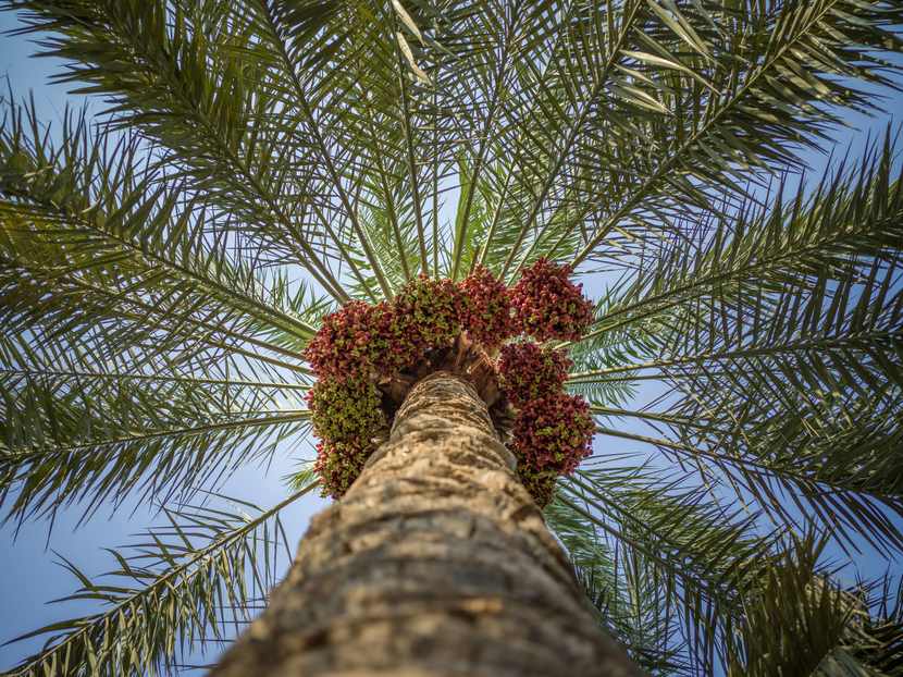 Photo of date trees and fruits in Qatif