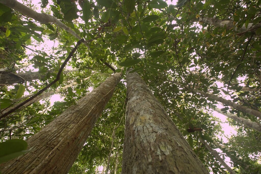 Katingan Mentaya Indonesia, view of canopy from the ground looking up